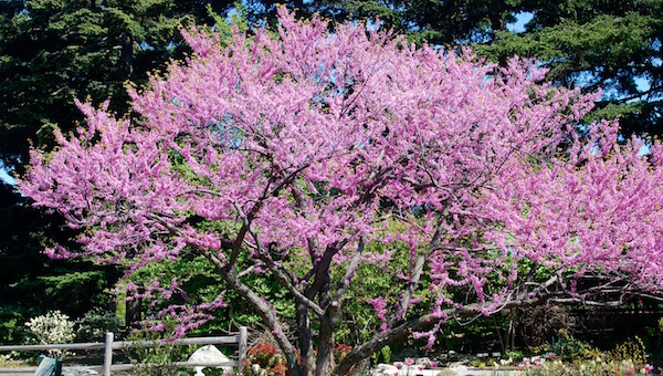 The vibrant colors of this magnificent eastern redbud complement those of the tulips growing underneath it.   Vincent Simeone photo