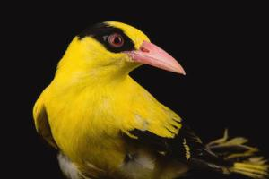 Joel Sartore's Chinese Oriole
