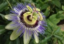 Purple passionflower is about as tropical looking as it gets. With the proper protection, this beauty can survive a Long Island winter. | Loren Moss Meyer photo