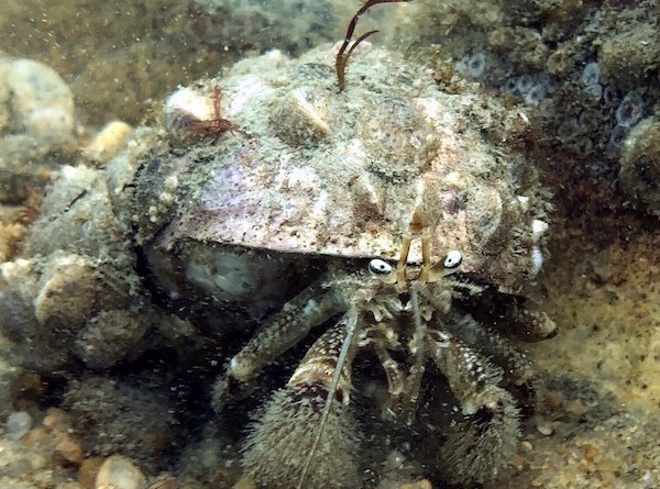 Pagurus pollicaris (flat-clawed hermit crab) was found in the Plum Island survey. | InnerSpace Scientific Diving photo