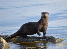 Long Island River Otter
