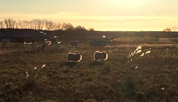 Golden Fleece, 8 Hands Sunrise