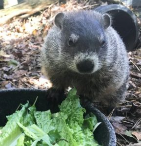 All About Groundhogs at the Quogue Wildlife Refuge