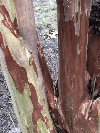 Depending on the selec- tion, the bark of crape myrtle can range in color from tan to cinnamon  |  Susan Tito photo