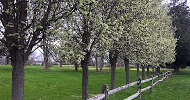 Cherry Blossoms, North Fork Country Club, Cutchogue