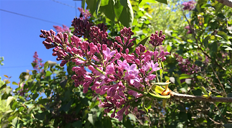 When lilacs last in the dooryard bloomed