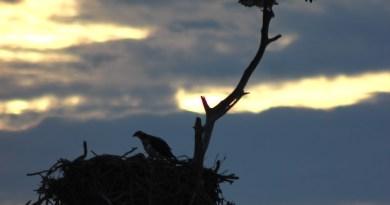 Heat osprey