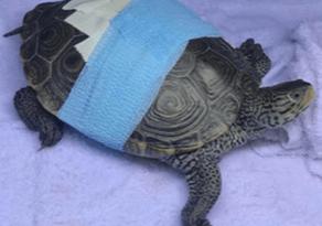 An injured turtle