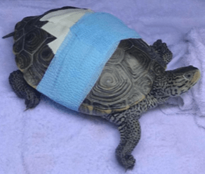 An injured turtle