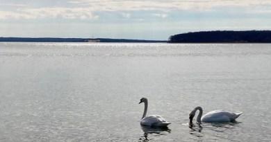 swans in New Suffolk