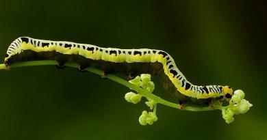 A Canadian owlet caterpillar.