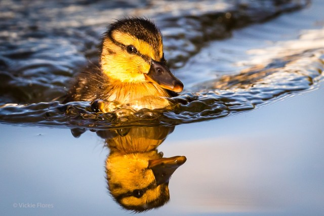 A newly born Wapping duckling is reflected in the water during early morning sunshine