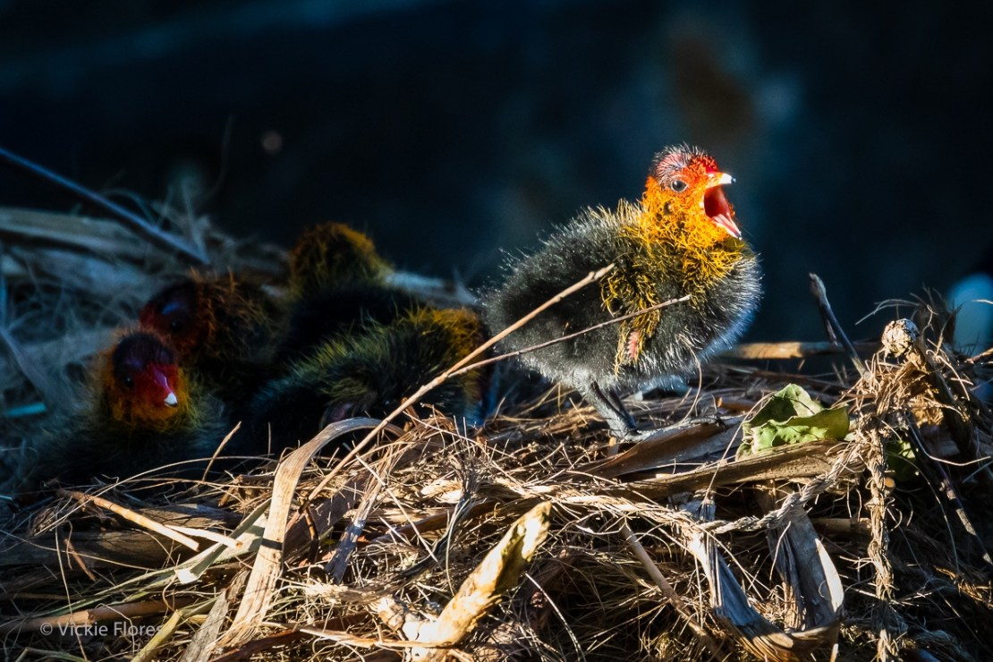 A young coot chick chirps on its nest in Wapping