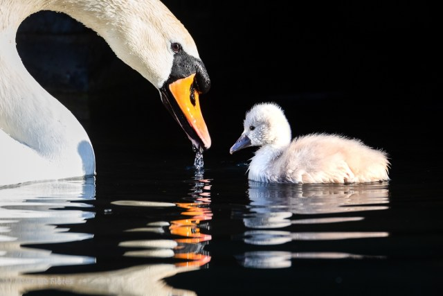 A swan and its cygnet swim on the canal in Wapping