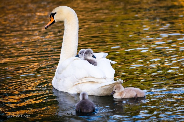 Swan cygnets hitch a ride on mothers back
