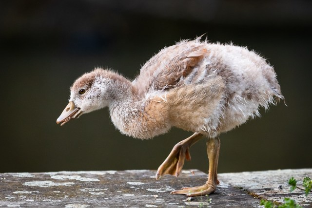 An Egyptian goose gosling copies father gooses poses