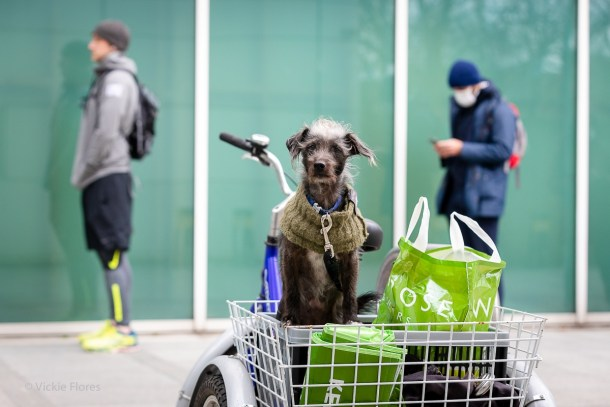 Local resident John's dog dog Millie waits patiently in his tricycle basket whilst he shops for vulnerable residents
