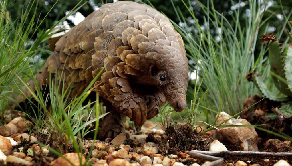 In China, the pangolins assigned the highest level of protection