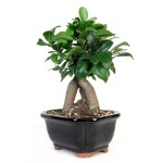 Bonsai Ginseng Ficus Bonsai From Easternleaf Com The Ginseng Ficus Has A Think Trunk That Is Very Similar To The Shape Of An Ancient Chinese Ginseng Herb Ginseng Ficus Can Be Kept