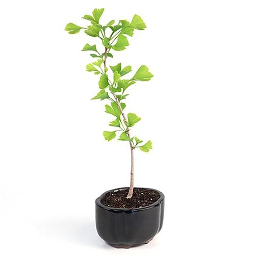 Bonsai Ginkgo Bonsai Tree From