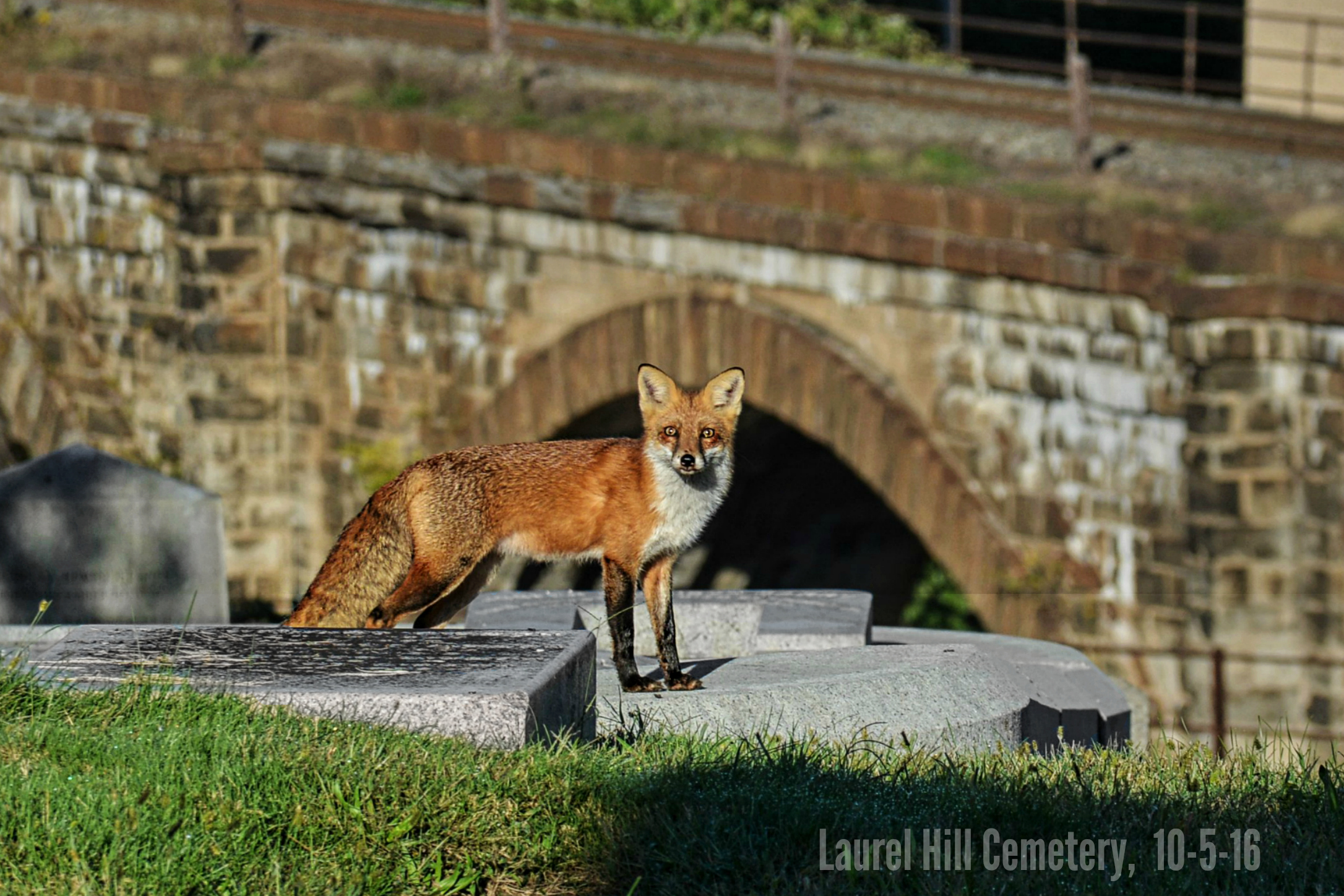 Fox In The Graveyard And Around East Falls