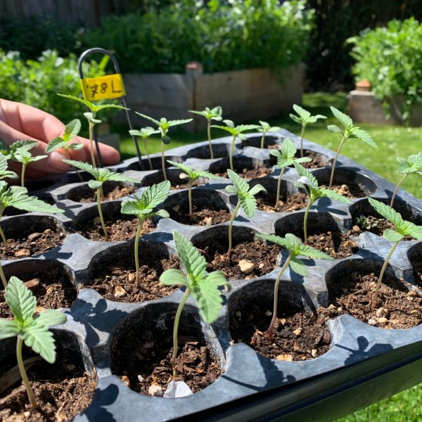 East Fork Cultivars '78 Llamas Hemp Seedlings