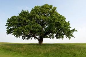 iStock 000003548003 oak tree m