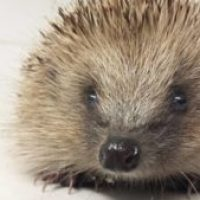 Could you foster a hedgehog?