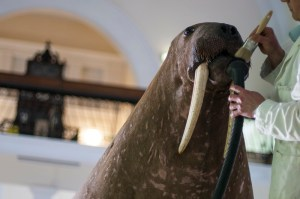 The walrus being cleaned before his trip Pic: acapmedia/Horniman Museum and Gardens