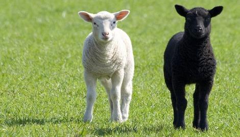 Lambs Pic: Maurice Koop