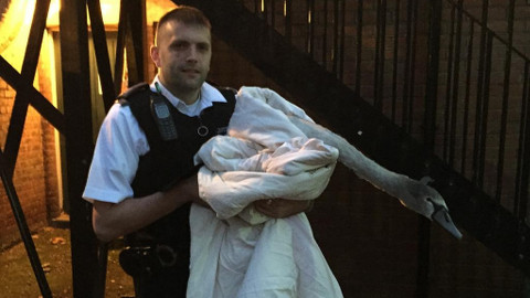 Swan rescued by Tower Hamlets police officer. Photo: @MPSTowerHam / Twitter