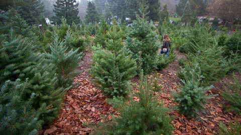 Christmas Trees. Pic: Anthony Goto