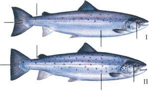 East Mayo Anglers Salmon
