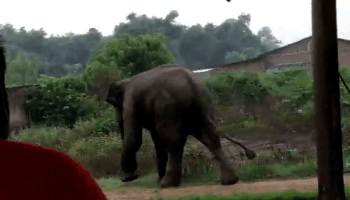 Wild elephant tramples woman to death in Assam