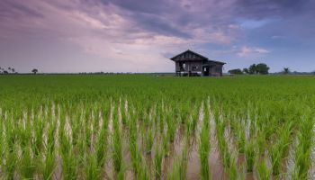 Tripura to procure 20,000 MT paddy from local farmers at MSP