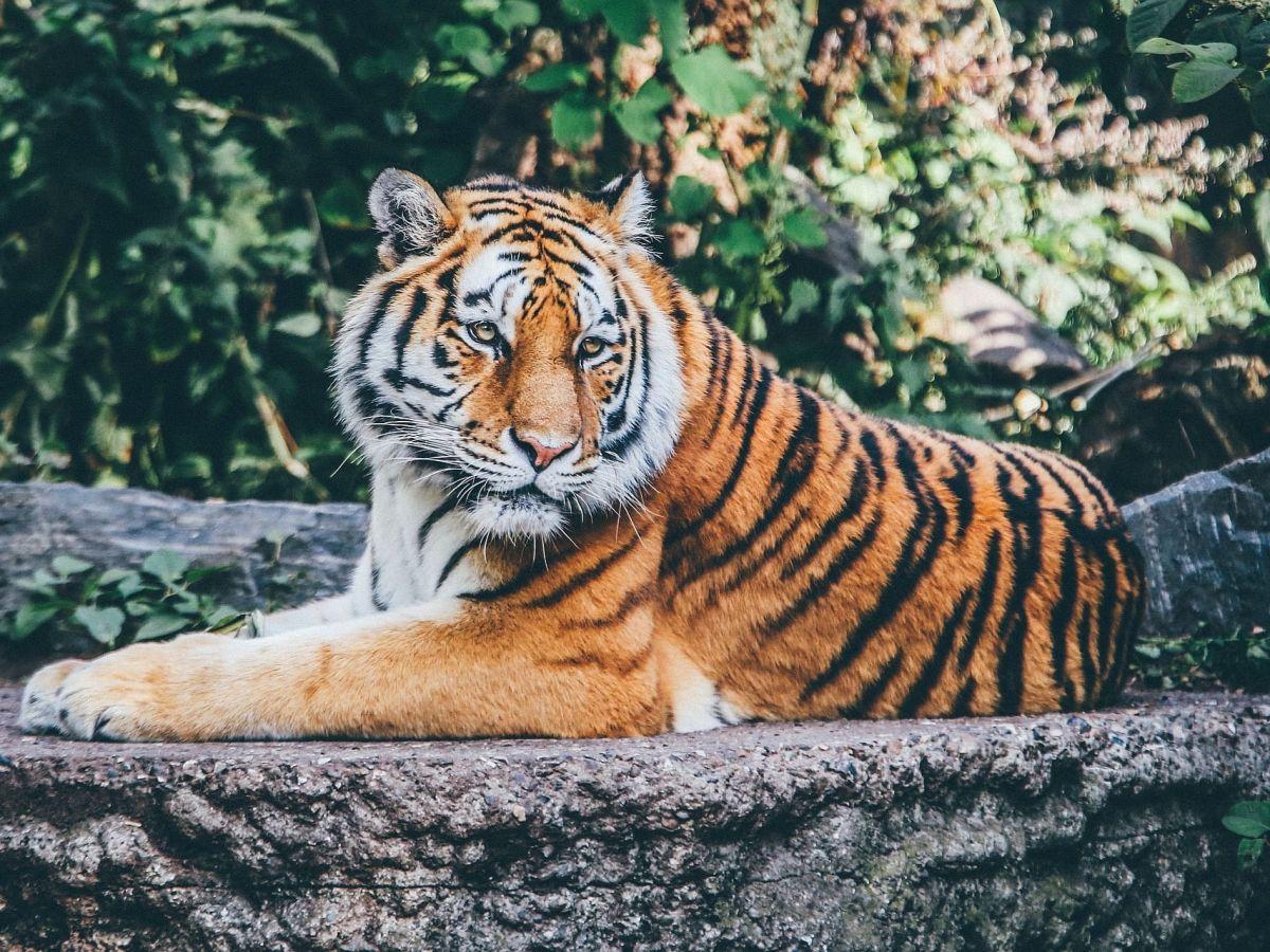 Manas Tiger