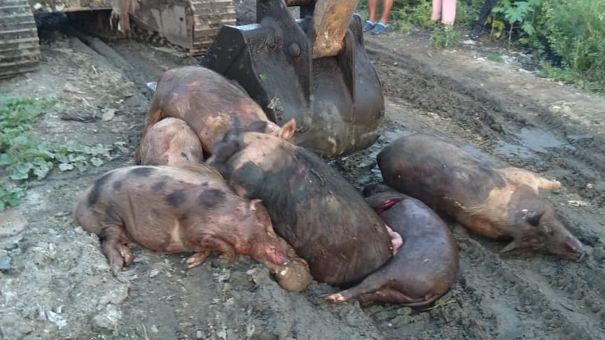 Mizoram: 920 pigs die of African Swine Fever