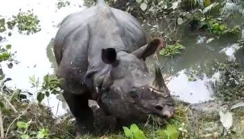 Assam: Forest guard killed in rhino attack in Manas