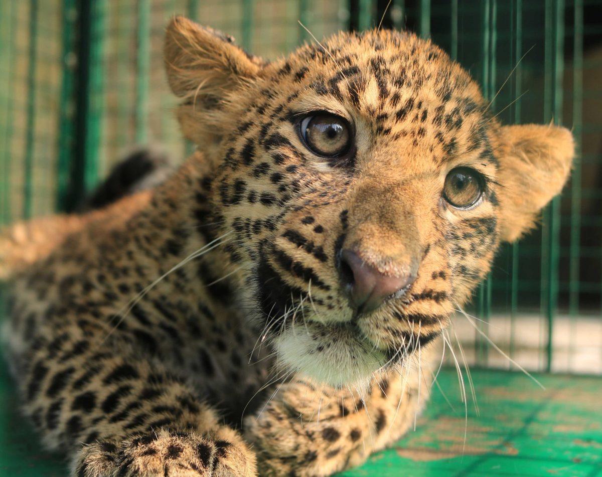 Assam: Leopard cub run over in Guwahati
