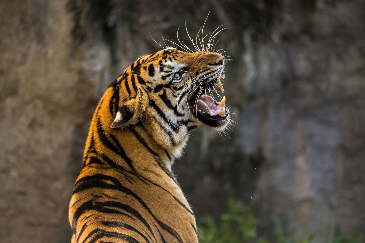 The carcass of the male tiger was found near Japoripothar, under Kohora range of the Kaziranga National Park, on June 18