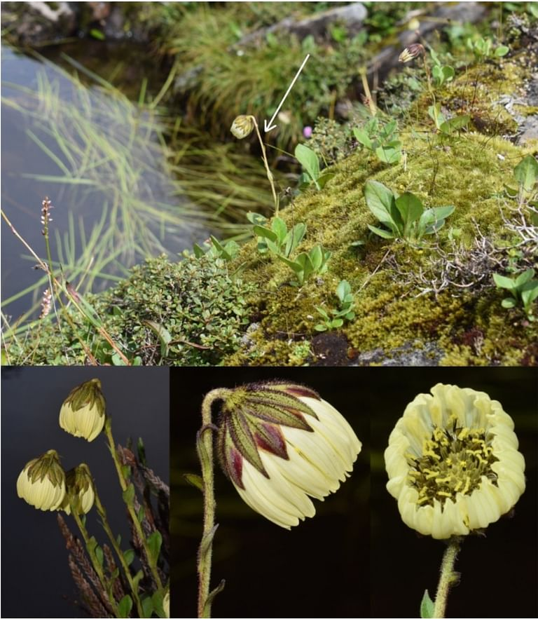 Cremanthodium is an alpine genus distributed in the Sino-Himalayan region with a total of 78 recognised species