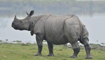 Poachers killed 22 rhinos in Assam in 5 years