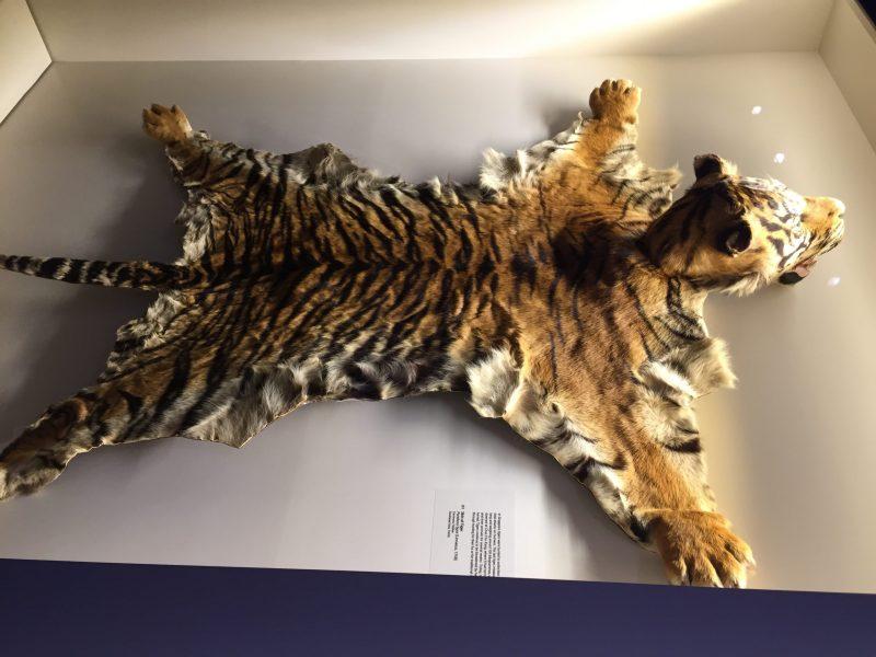 Tiger skin seized in Chhattisgarh: Five, including 2 cops, held
