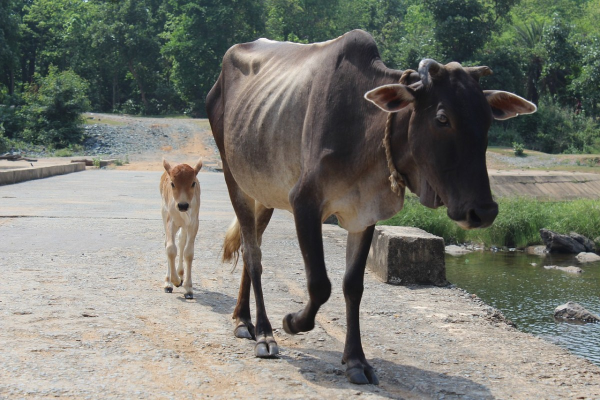 Assam tables cow protection bill