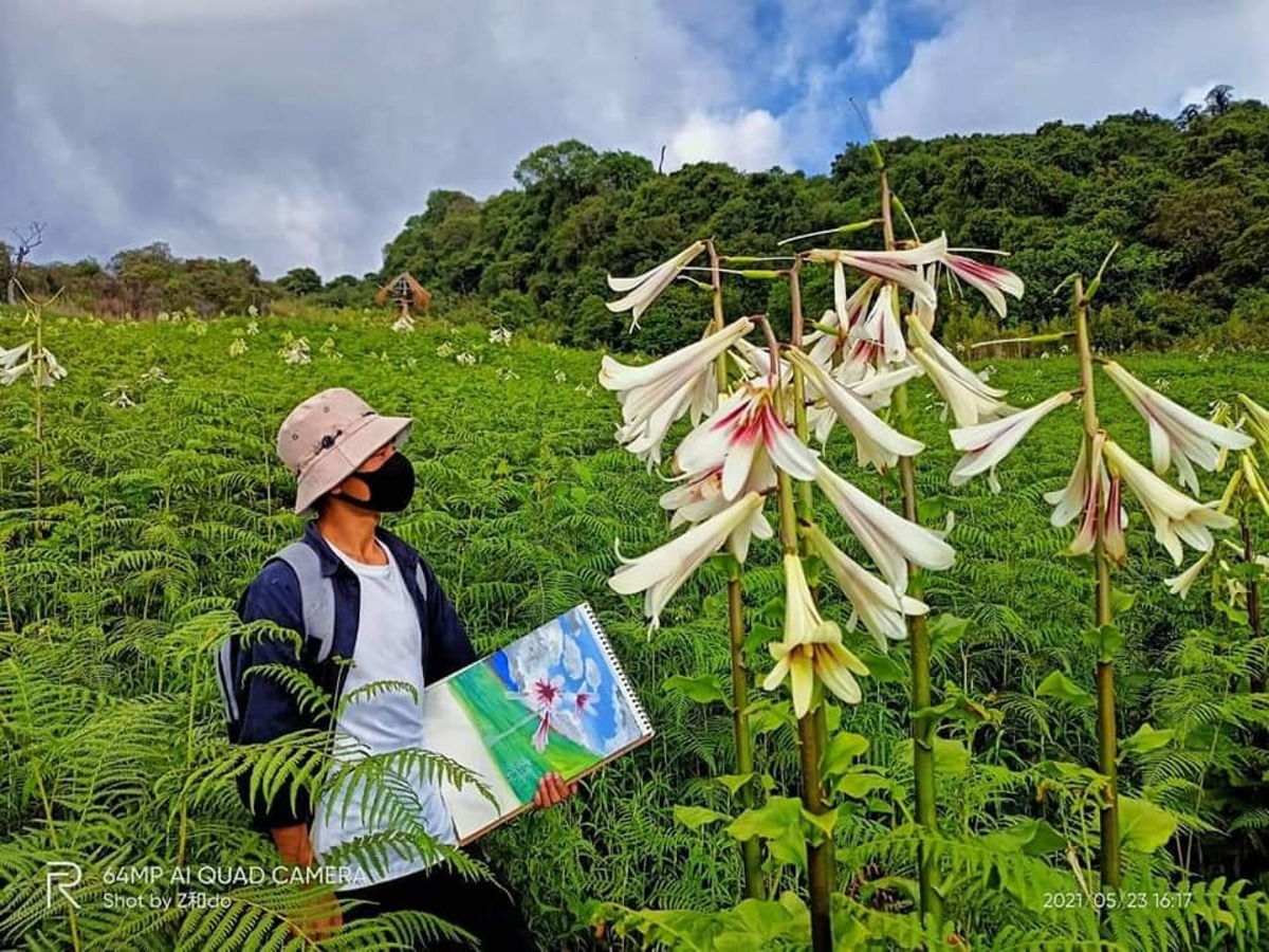 Manipur village enthrall with giant Himalayan lilies