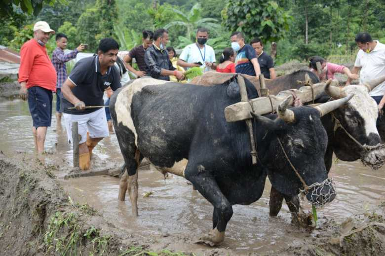 Sikkim's agriculture minister gets his hands dirty on paddy field