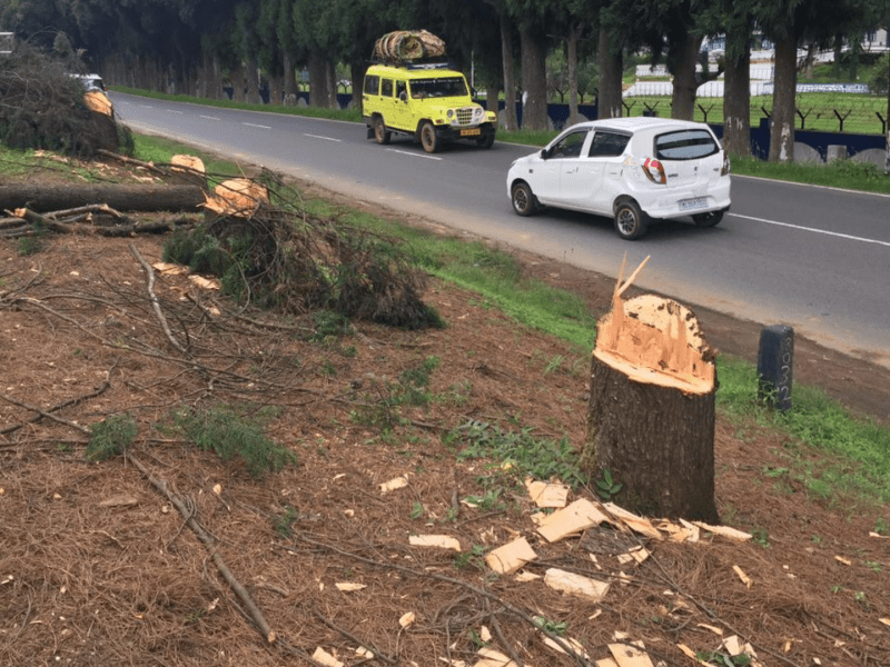 Shillong residents angry after 100-yr-old pine trees cut for road expansion
