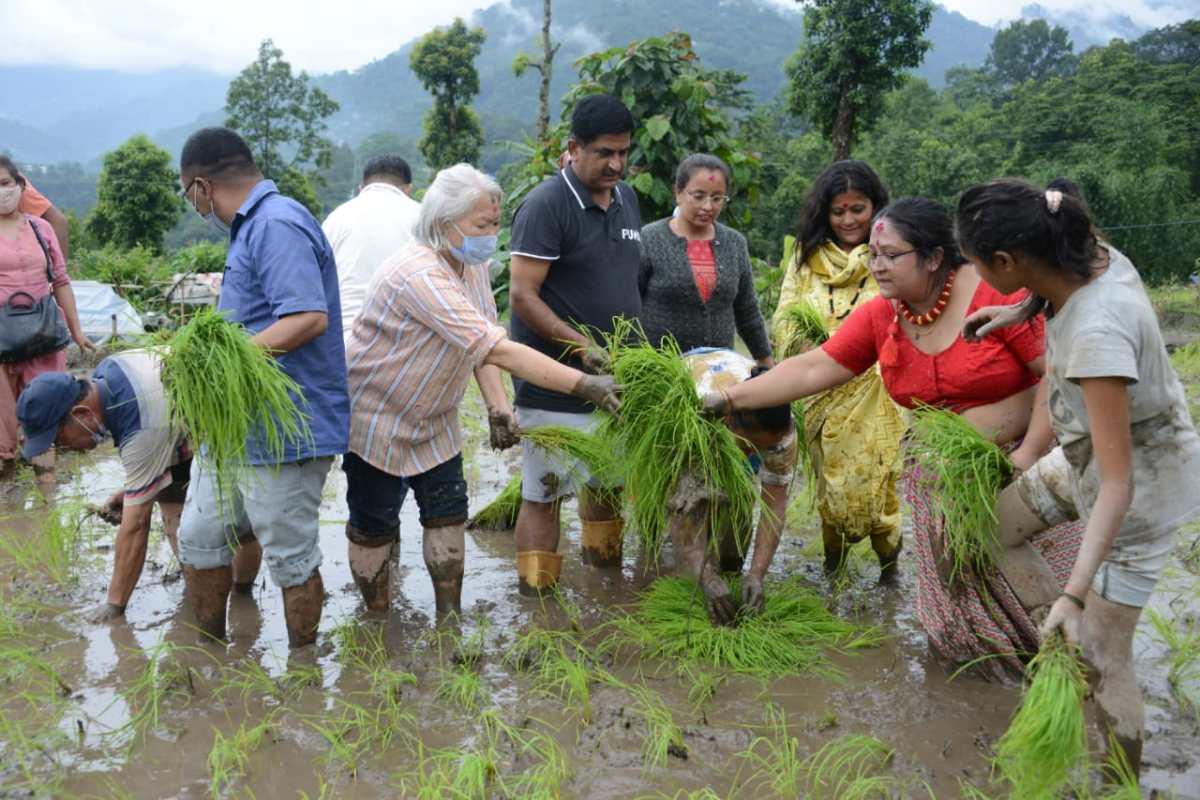 Sikkim: Agri minister Lok Nath Sharma steps into paddy field to mark Asaar