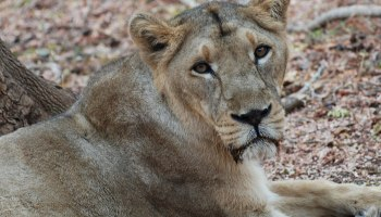 Lioness dies of COVID-19 at TN zoo, 9 others test positive