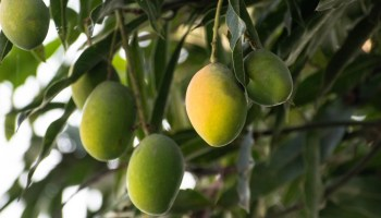 Farmer hires 9 dogs, 3 men to guard rare mangoes, each worth ₹21,000